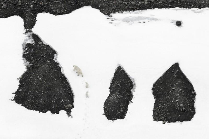 Vincent Munier, POLAR BEARS CLIMBING UP, SPITSBERGEN, 2014