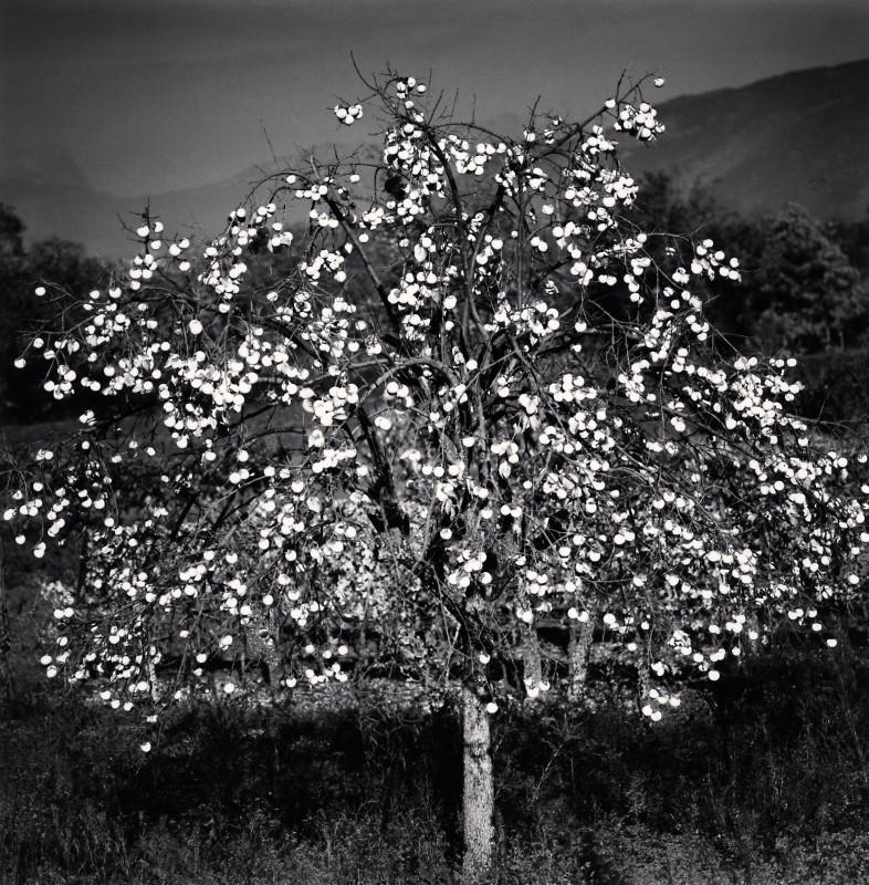 Michael Kenna, PERSIMMON TREE, SULMONA, ABRUZZO, ITALY, 2015