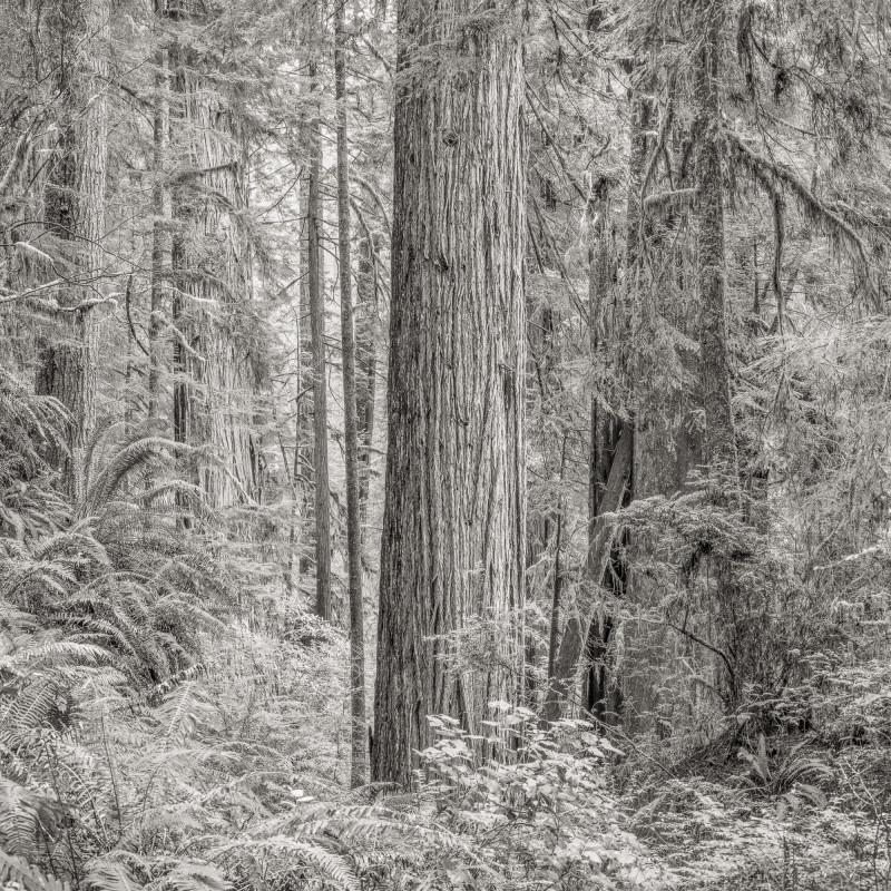 Jeffrey Conley, PRIMORDIAL REDWOOD FOREST, CALIFORNIA, 2015