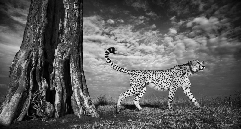 ANUP SHAH, STRIDING OUT, FROM THE MARA SERIES, 2012