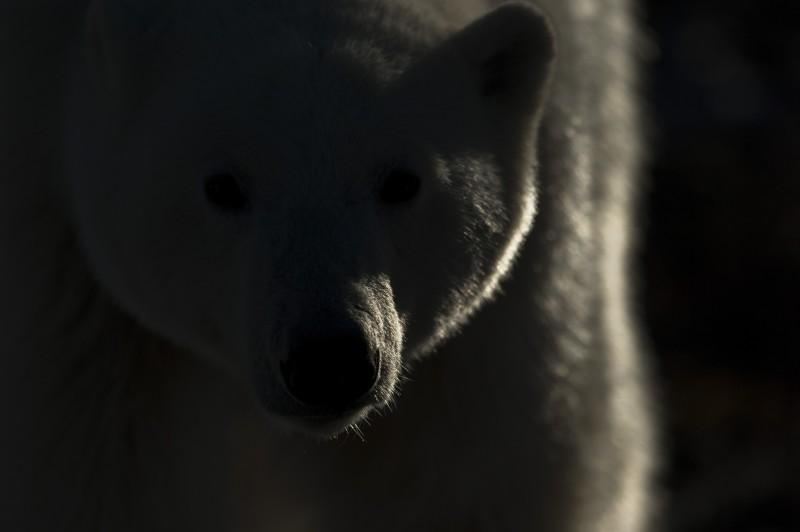Vincent Munier, POLAR BEAR AGAINST THE LIGHT, CANADA, 2010