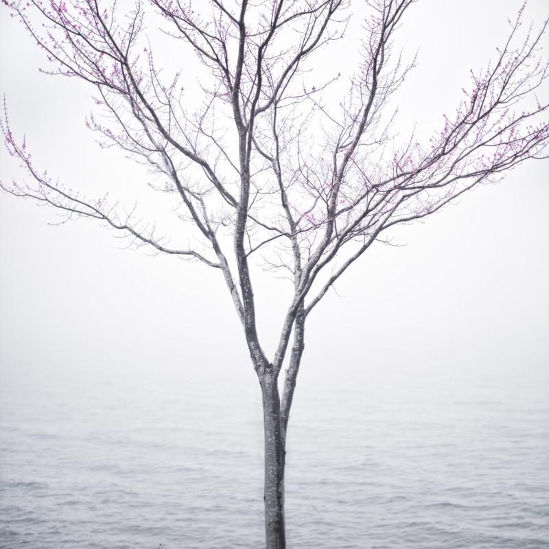CIG HARVEY, SPRING TREE IN FOG, LINCOLNVILLE, MAINE, 2012