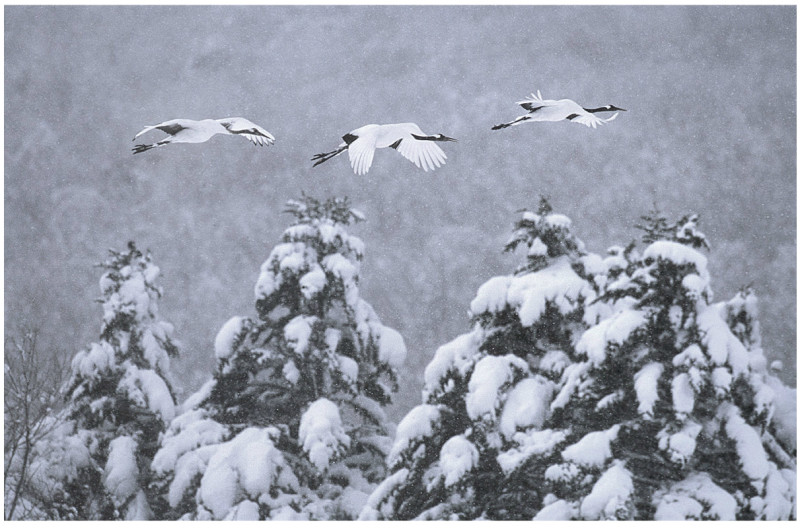 Vincent Munier, RED CROWNED CRANES, JAPAN, 2000