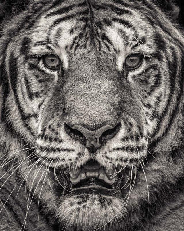 Paul Coghlin, PORTRAIT OF SUMATRAN TIGER, 2016