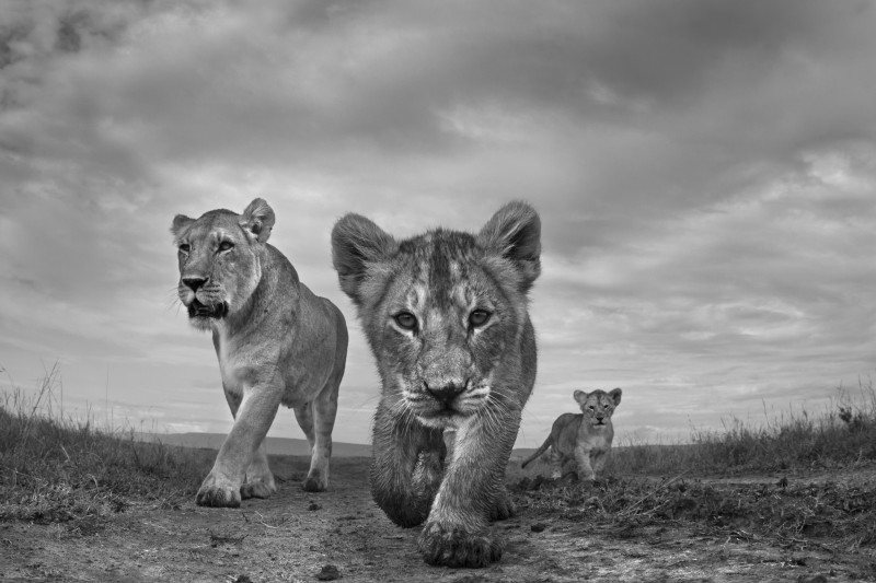ANUP SHAH, ON THE MOVE, FROM THE MARA SERIES, 2012