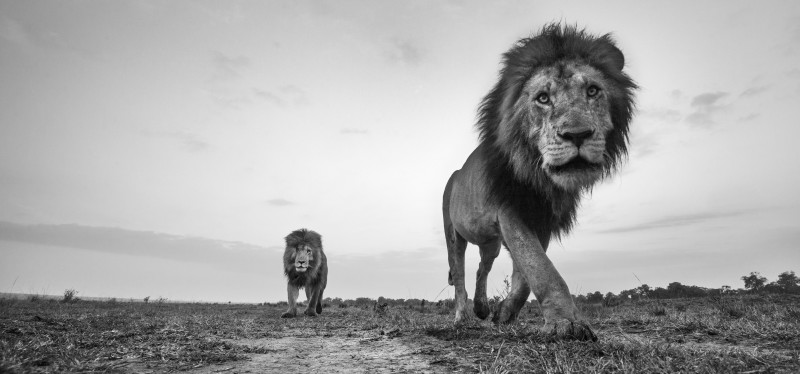 ANUP SHAH, MORANI AND SCARFACE, FROM THE MARA SERIES, 2014