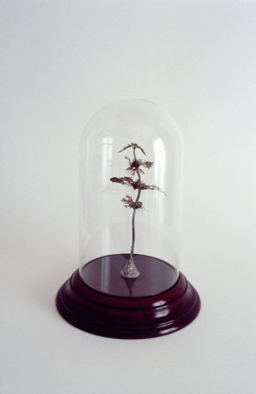 Jo Coupe, Uprooted (White deadnettle, Lamium album), 2002