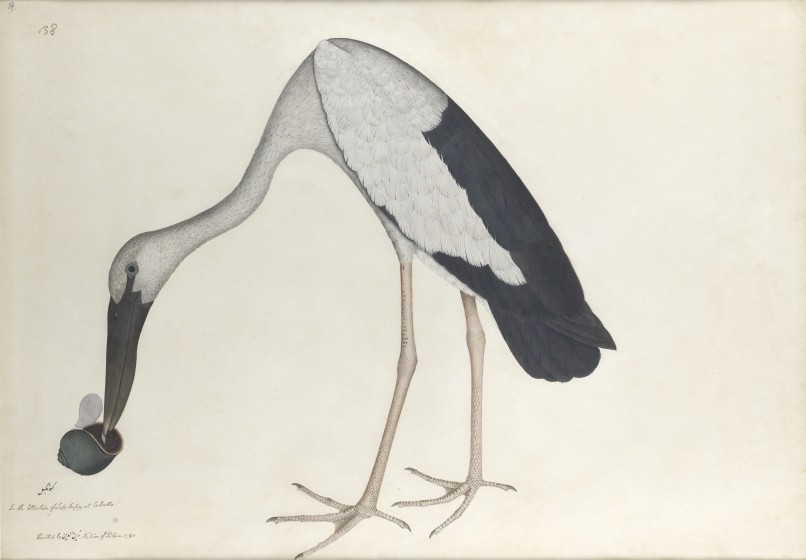 The Asian Openbill Stork 'Anastomus oscitans', 1781