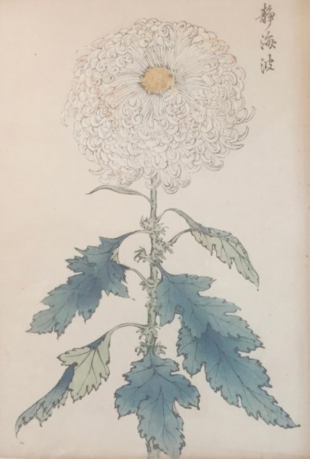 One Hundred Years of Chrysanthemums XII
