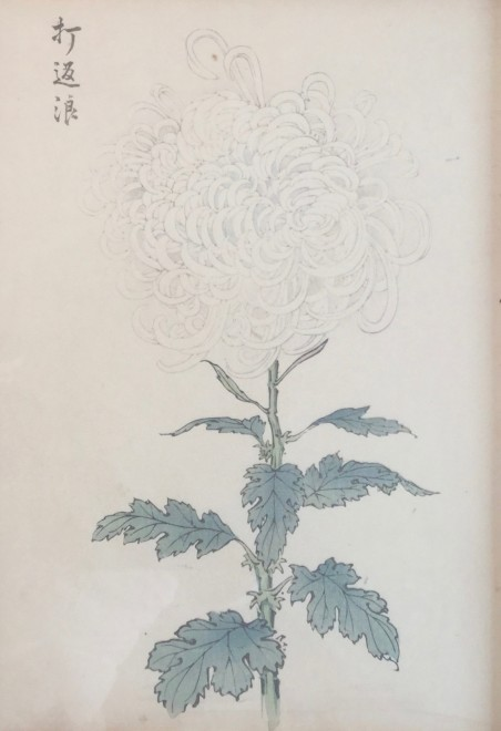 One Hundred Years of Chrysanthemums VIII