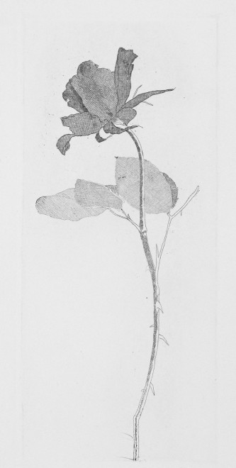The Rose and the Rose Stalk [T.75]