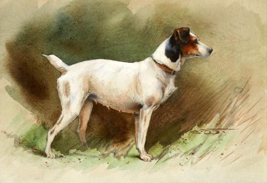 A Keen Jack Russell Terrier