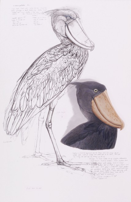 Study of Shoebill