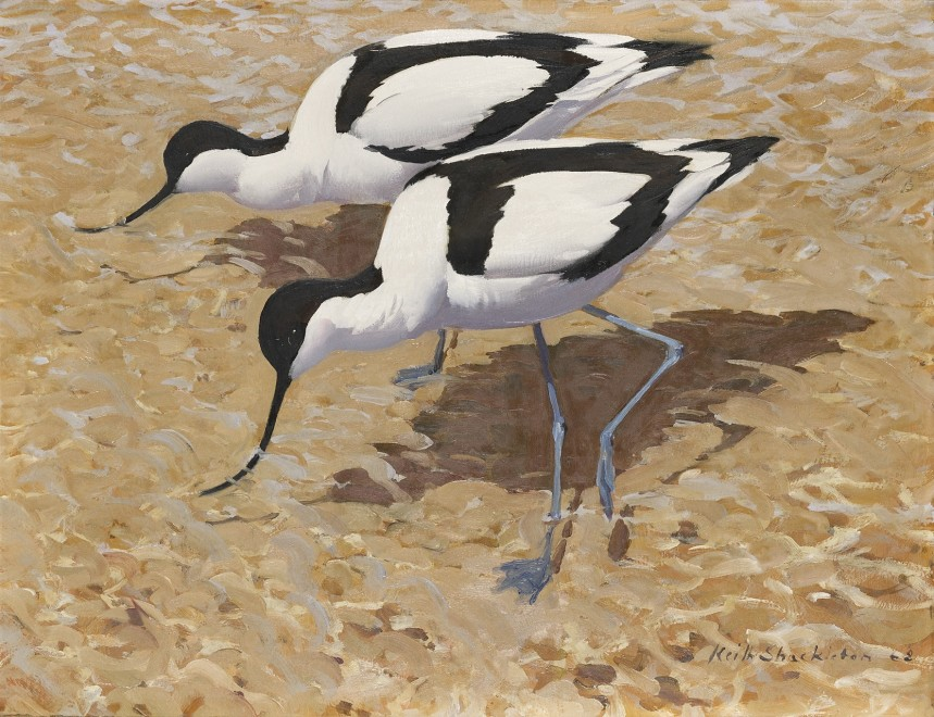 Keith Shackleton, Avocets working the shallows, Havergate Island
