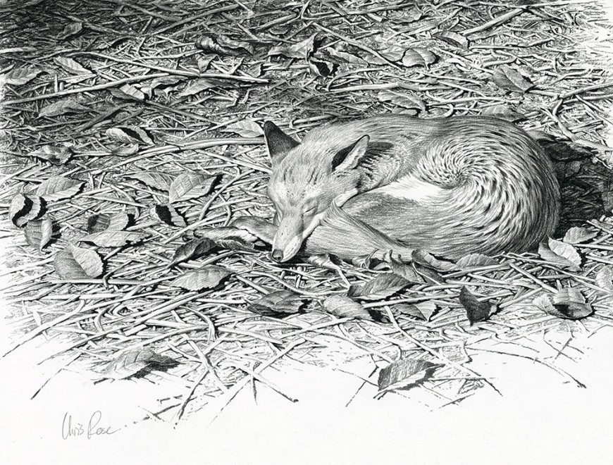 Chris Rose, Sleeping fox