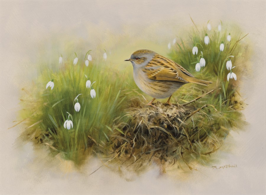 Rodger McPhail, Dunnock and snowdrops