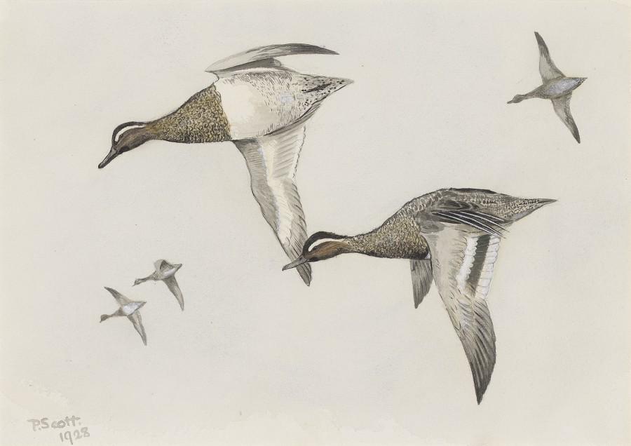 Sir Peter Markham Scott, Ducks in flight
