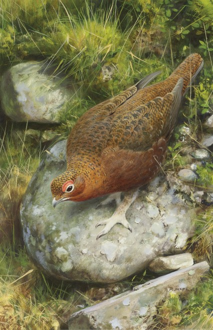 Rodger McPhail, Grouse on a rock