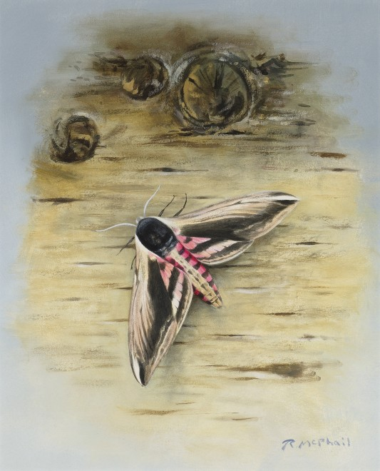 Rodger McPhail, Privet Hawk-moth
