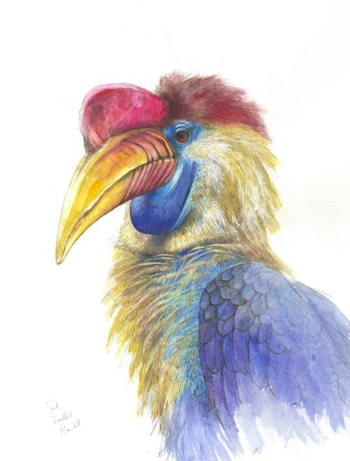 Emma Faull, Knobbed Hornbill