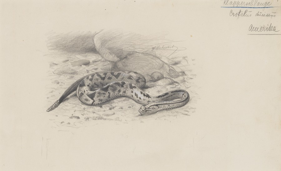 Wilhelm Kuhnert, North American Rattlesnake