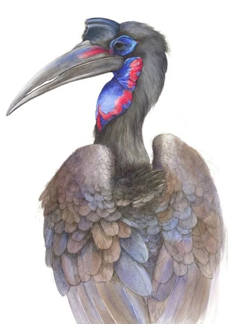 Emma Faull, Abyssinian Hornbill