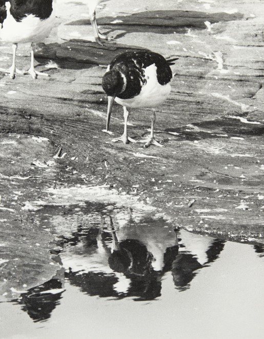 H.R.H. The Duke of Edinburgh, Oystercatchers