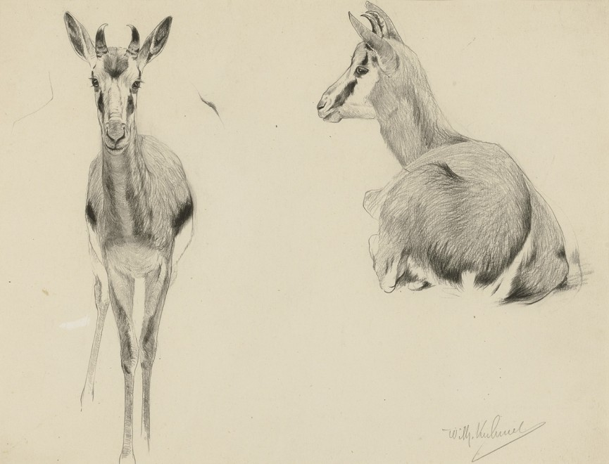 Wilhelm Kuhnert, Young Springbok
