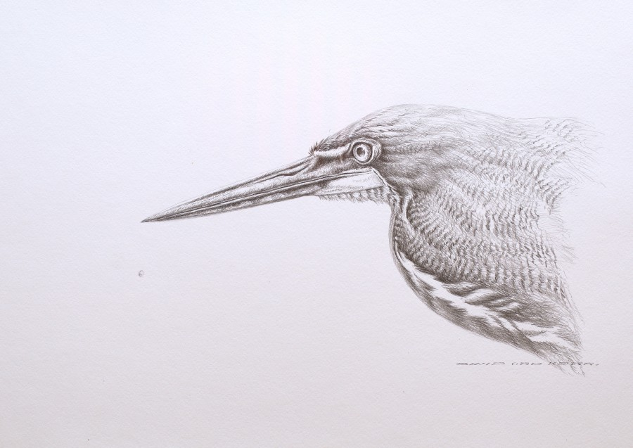 David Ord Kerr, Rufescent Tiger-Heron sketch
