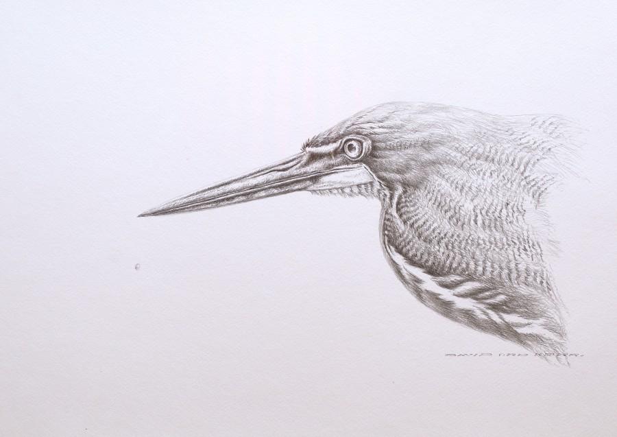 Rufescent Tiger-Heron sketch