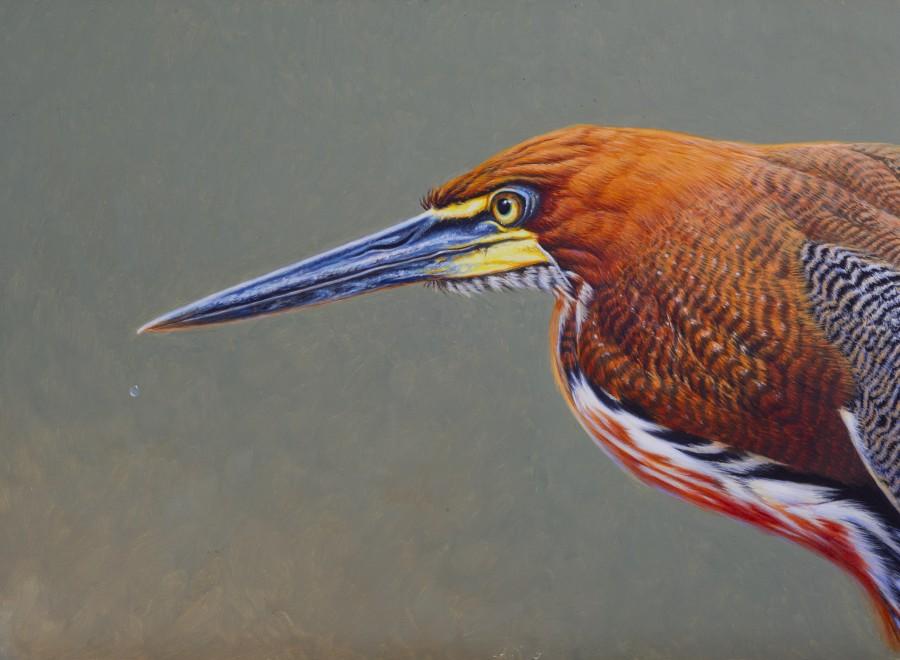 David Ord Kerr, Rufescent Tiger-Heron