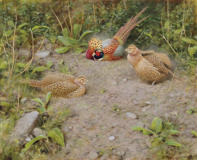 Rodger McPhail, Pheasants dusting