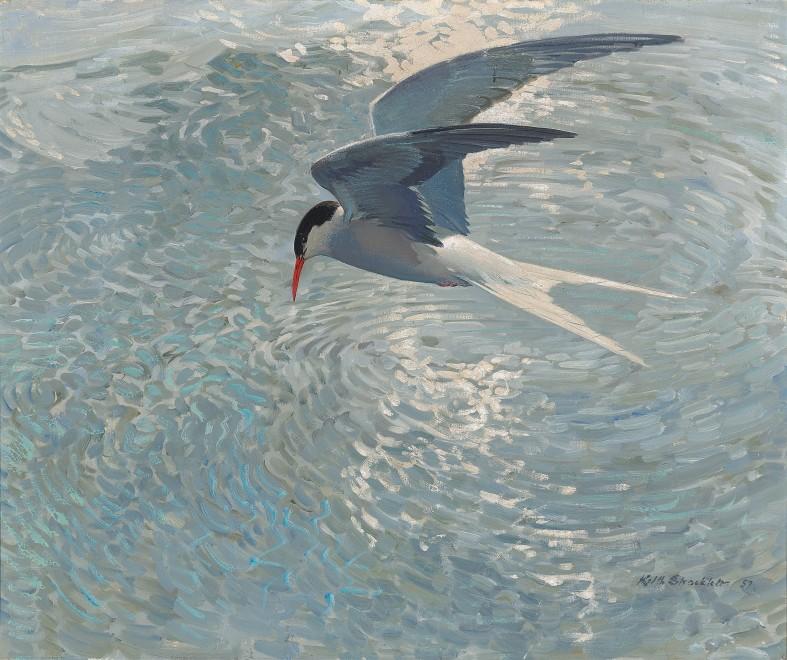 Keith Hope Shackleton MBE, Arctic Tern