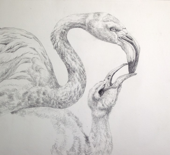 Greater Flamingo sketch