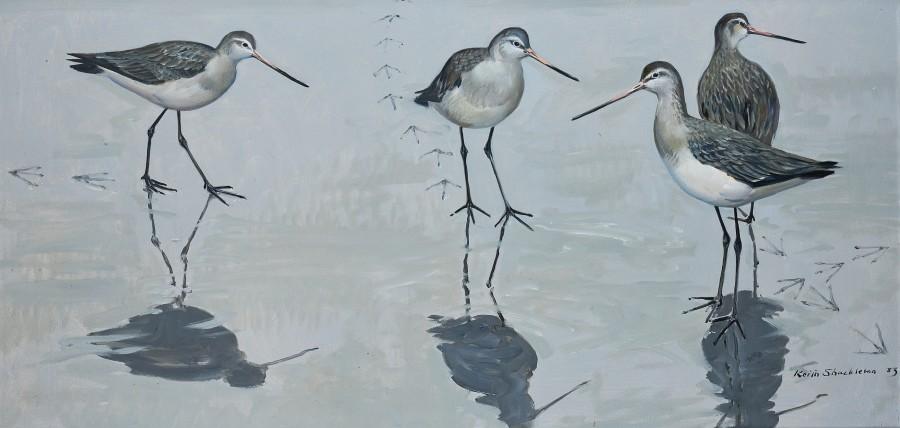 Keith Hope Shackleton, MBE, Encounter on the mud: Black-tailed Godwits
