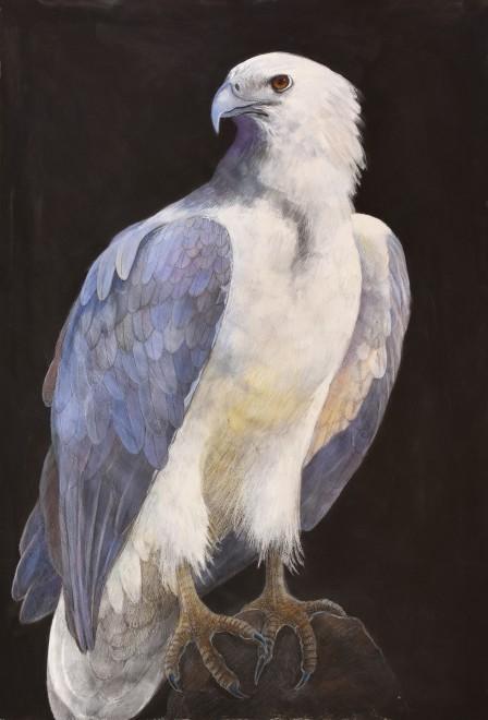 Emma Faull, White-breasted Sea-Eagle