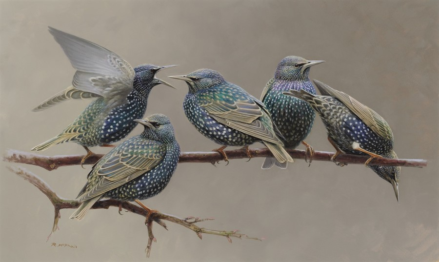 Rodger McPhail, Starlings