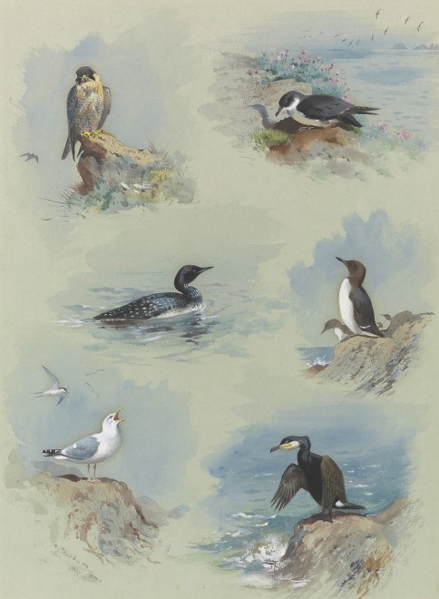 Archibald Thorburn, Birds of the British Isles Vignettes II: Peregrine Falcon, Great Northern Diver, Herring Gull, Shearwater, Guillemot and Cormorant