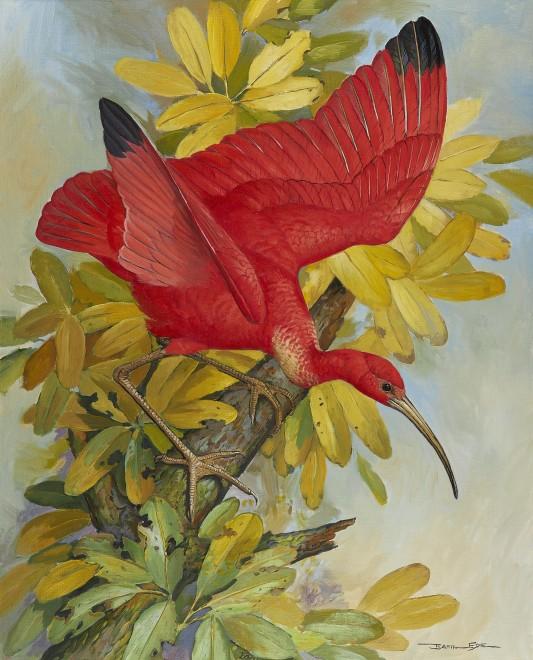 Basil Ede, Scarlet Ibis