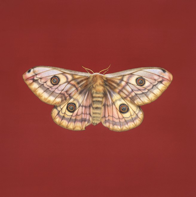 Jennifer Hooper, Emperor Moth on crimson