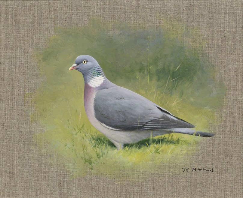 Rodger McPhail, Wood Pigeon study