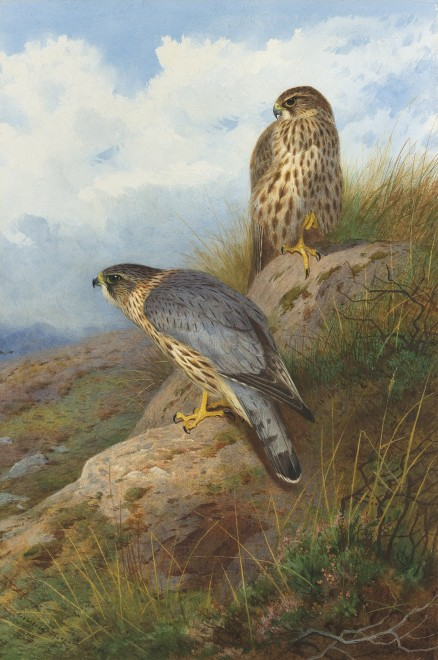 Archibald Thorburn, A Merlin male and female