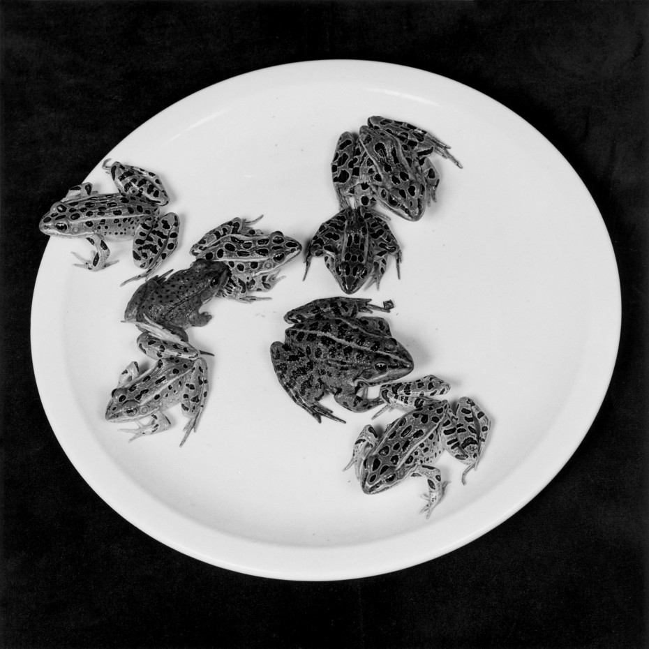 Robert Mapplethorpe, Frogs, 1984. Silver Gelatin Print