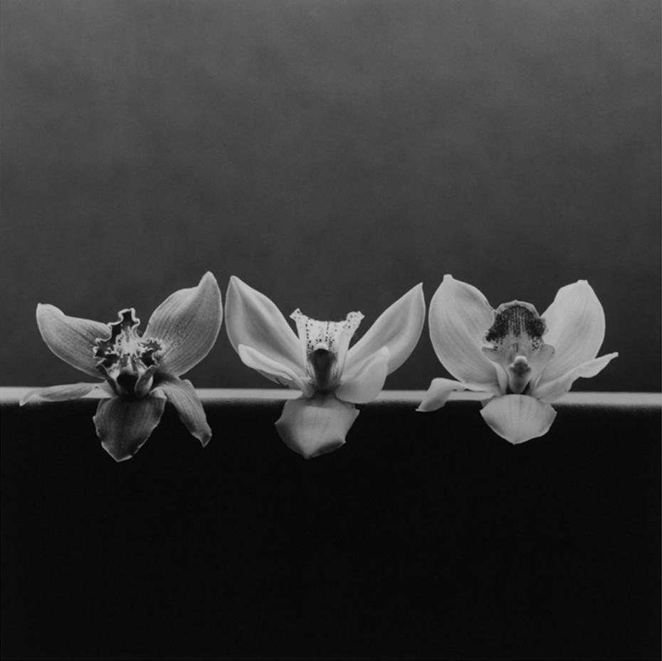 Robert Mapplethorpe, Orchid, 1985. © Robert Mapplethorpe Foundation. Used by permission