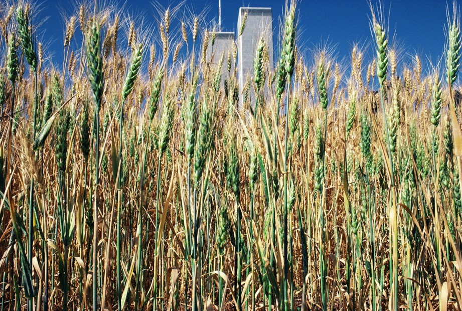 <p>Agnes Denes,&#160;<i>Wheatfield &#8211; A Confrontation: Battery Park Landfill, Downtown Manhattan &#8211; Green Wheat Turning</i><span>, 1982,&#160;Courtesy Leslie Tonkonow Artworks + Projects, New York</span></p>