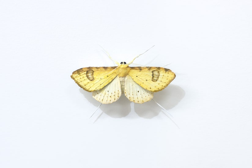 Elizabeth THOMSON, Moth [D], ND
