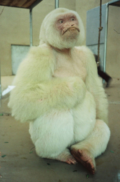 Southern Hemisphere (White Gorilla Photo), 1991/1995