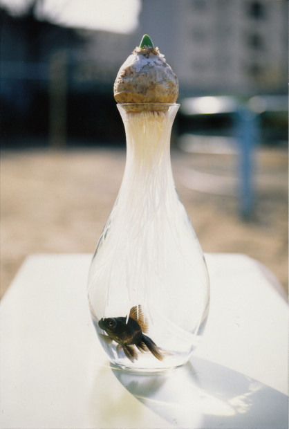 Symbiosis (goldfish and hyacinth), 1992