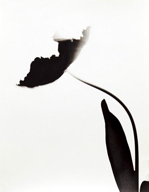 <span class=&#34;title&#34;>Tulipa x gesneriana 'Apricot Parrot'<span class=&#34;title_comma&#34;>, </span></span><span class=&#34;year&#34;>2017</span>