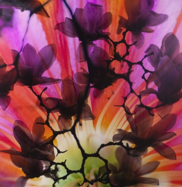 Lisa Eisner Sunset Tulip clear Fujiflex c-print on Fujiflex c-print mounted to plexi in oak frame 20 x 20 inches